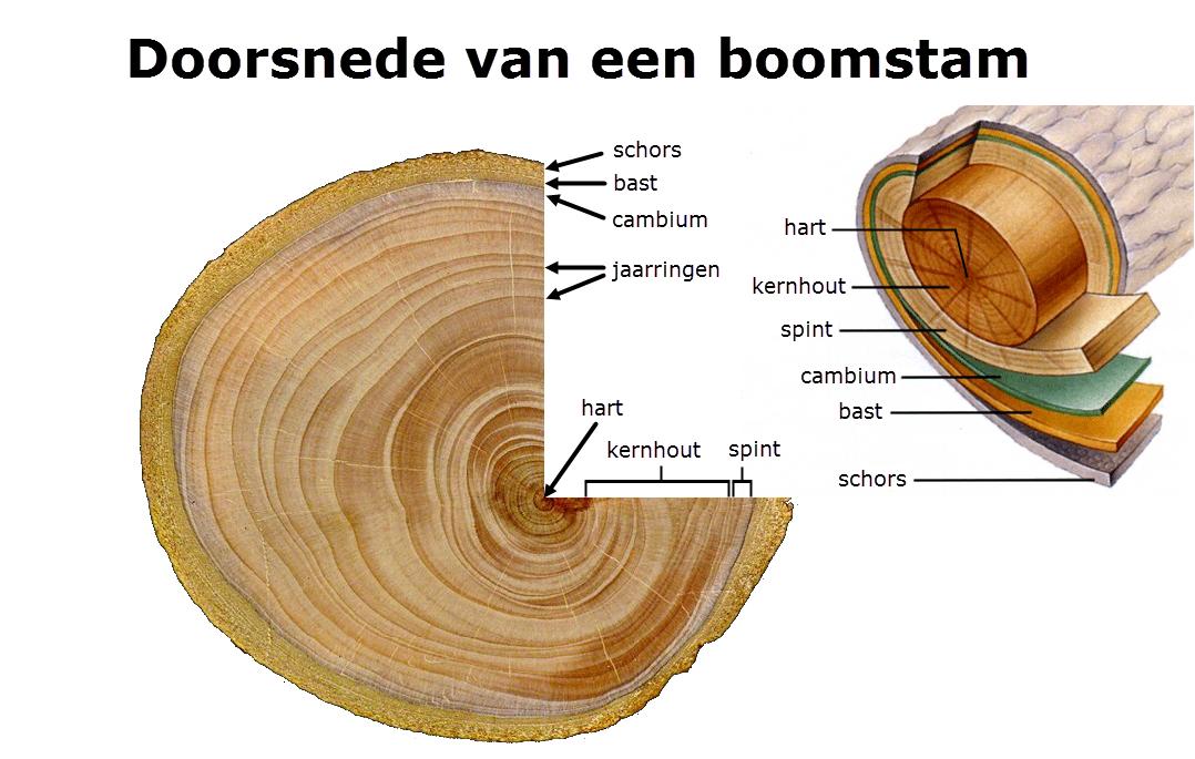 doorsnede_boom5